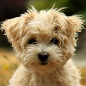 Cute Puppy Dog HD