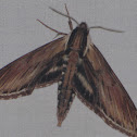 Laurel Sphinx Moth