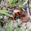 Female Red Velvet Ant