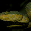 Bamboo Pit Viper