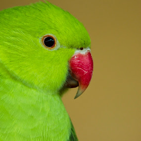 A Portrait of Rose-ringed Parakeet (Female) by Golam Kibria Sumon - Animals Birds ( animals, parakeet, park, colorful, rose-ringed, parrot, birds, portrait, bird, bangladesh, nature, female, color, safaripark, animal,  )