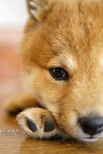 日本柴犬拼圖