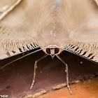 Swallowtail moth