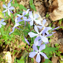 Wild Blue Phlox