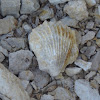 Shell fossil