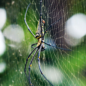 Sepiderss by Taufik Nur Hidayat - Animals Insects & Spiders