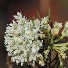 Pineleaf Milkweed