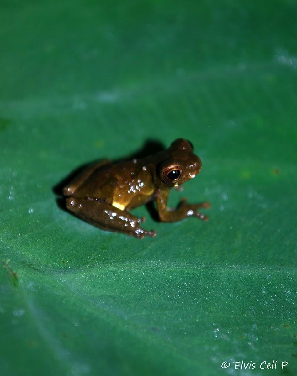 Dendropsophus parviceps