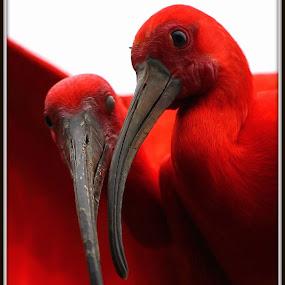 Just friends by Romano Volker - Animals Birds