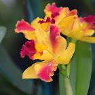 Orquídea híbrida