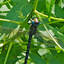 Swamp Darner dragonfly (male)