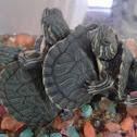 D'Orbigny's Slider Turtle