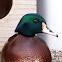 wood duck-mallard duck hybrid