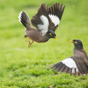 Common Myna by Assi Dvilanski - Animals Birds ( national park, ramat gan, places, israel, birds, common myna )