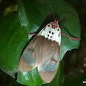 Croker's Tiger Moth
