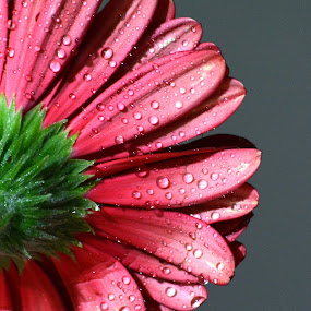 by Sathyanarayanan Shanmugam - Flowers Single Flower (  )