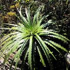 Guapilla (Ground Bromeliad)