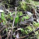 Oregon rough skinned newt