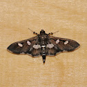 Grape Leafroller Moth