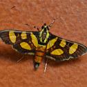 Orange-spotted Flower Moth/Red-waisted Florella Moth.
