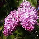 Lilac (Španski bezek)