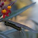 Monarch larva (caterpillar)