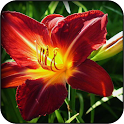 Gladiolus Wallpapers icon