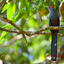 Chestnut-Bellied Malkoha