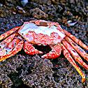 Grapsid Crab