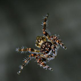 ~FLYING~ by Shohibul Huda - Animals Insects & Spiders ( macro, animals, macrophotography, macro photography, jumping spider, spider, close up, closeup, animal,  )
