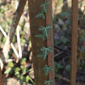 Climbing Ivy. by Robin Watson - Nature Up Close Leaves & Grasses ( plant, fence, nature, ivy, rusty )