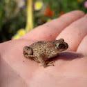 juvenile European Toad