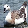 Canada X domestic swan goose hybrid