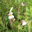 One-flowered cancerroot