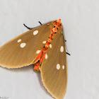 Tinolius Moth