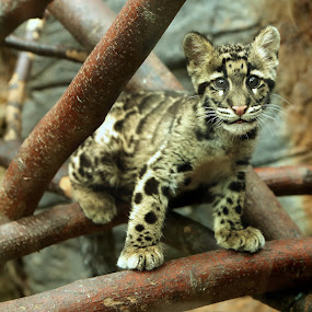 Clouded leopard cub by Selena Chambers - Animals Lions, Tigers & Big Cats ( leopard cub, clouded leopard cub, cub, clouded leopard, leopard, , zoowatch, zoo, animals )