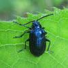Alder Flea Beetle??