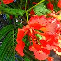 Phượng Vĩ (Flower of Pupil)