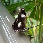 Danaid Eggfly Butterfly