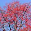 flame tree, árbol de fuego
