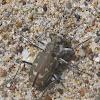 Western Tiger Beetle