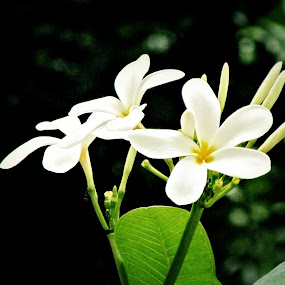 White by Shamsad Mhd - Flowers Flowers in the Wild ( white, india, flower,  )