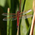 Red form Roseate Skimmer