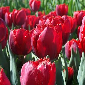 Tulips at Longwood by Frank Gualtieri - Flowers Flower Gardens ( tulips red longwood,  )