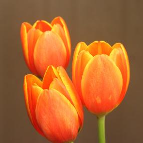 Orange Tulip by Christie Henderson - Novices Only Flowers & Plants ( orange, tulip, flower, Flowers, Flower Arrangements,  )