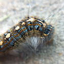 Forest tent moth caterpillar
