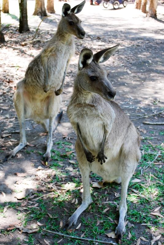 Kangaroos on alert