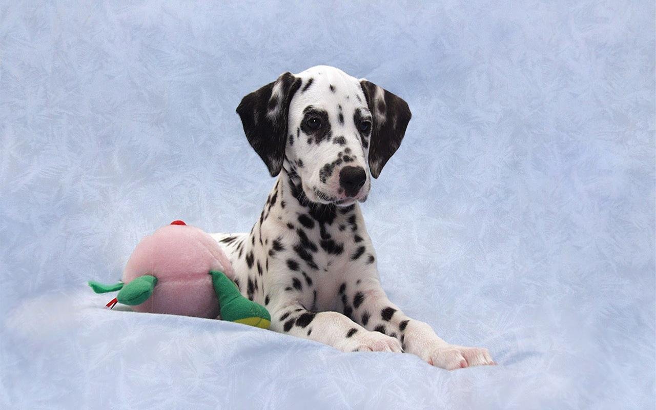 Dalmatian Dog Breed HD Images - screenshot