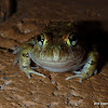 Ornate Burrowning Frog