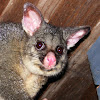 Common brushtail possum with pouch young